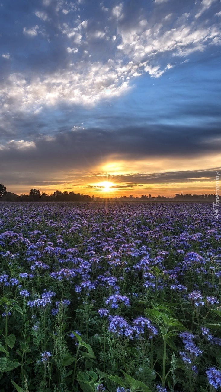 Zachód słońca nad łąką niebieskich kwiatów
