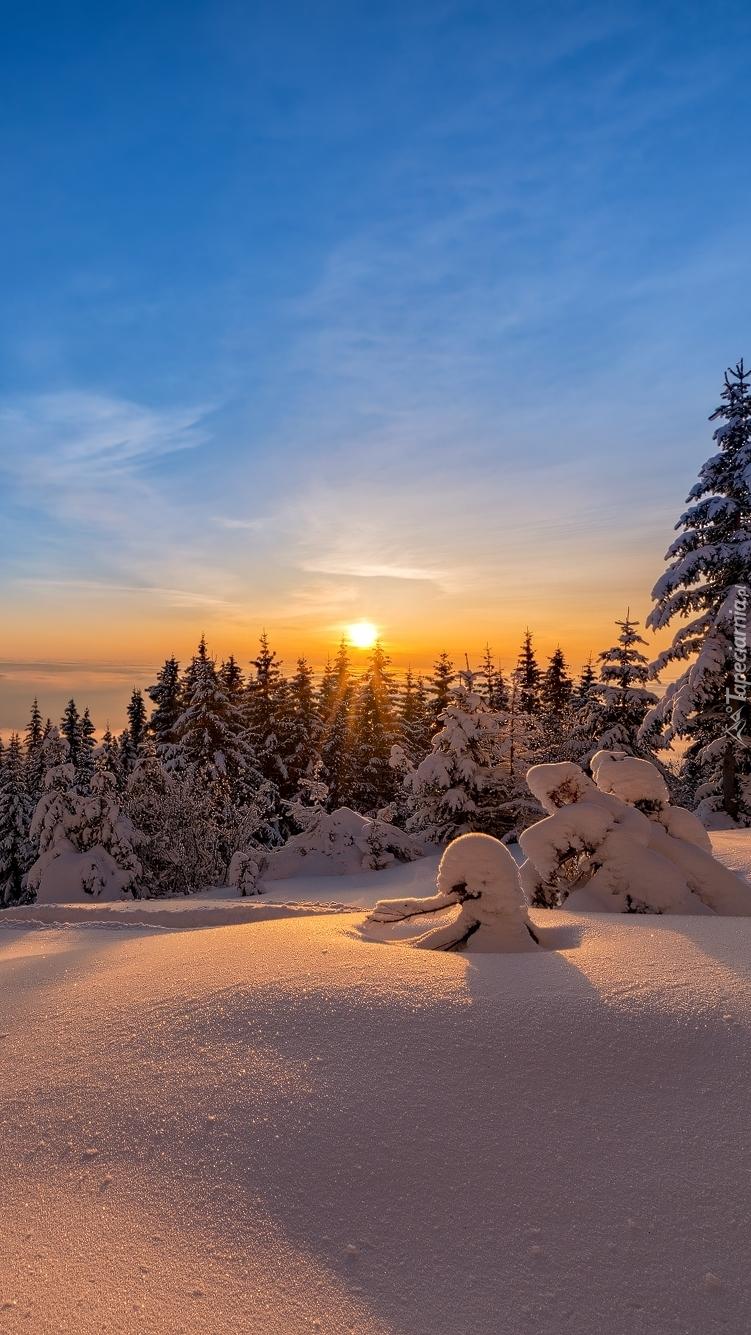 Zachód słońca nad ośnieżonymi świerkami