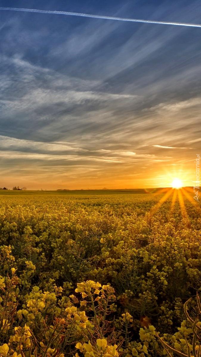 Zachód słońca nad polem rzepakowym