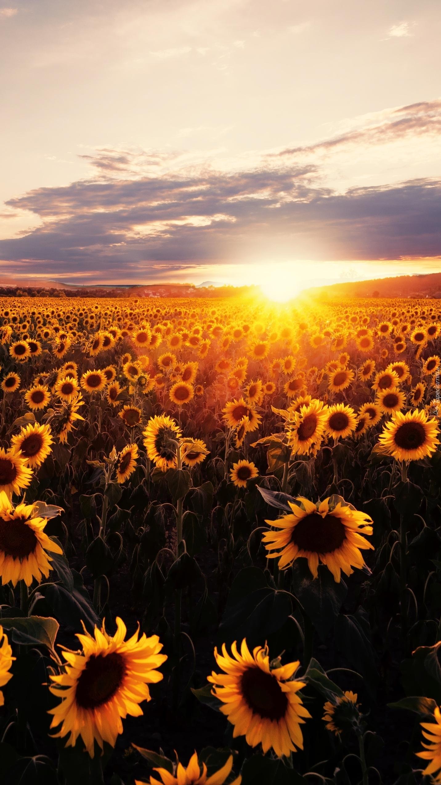 Zachód słońca nad polem słoneczników