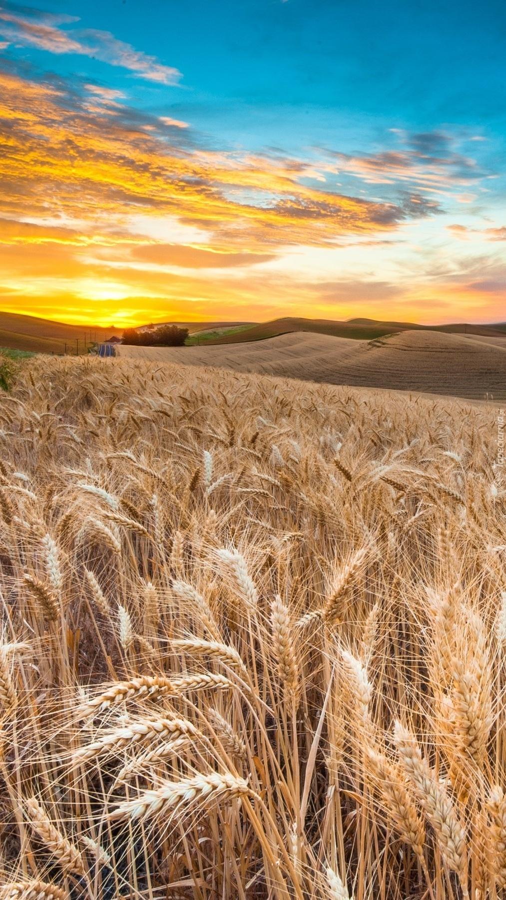 Zachód słońca nad polem zboża