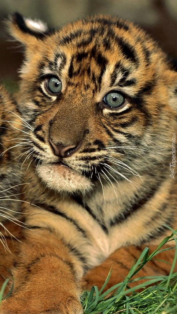 Zaciekawione spojrzenie tygryska