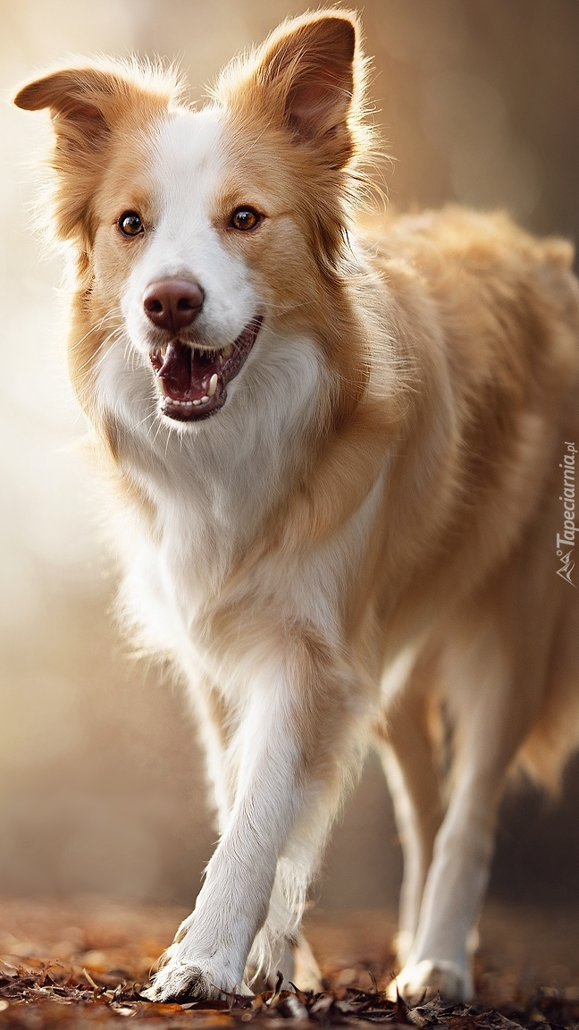 Zadowolony border collie