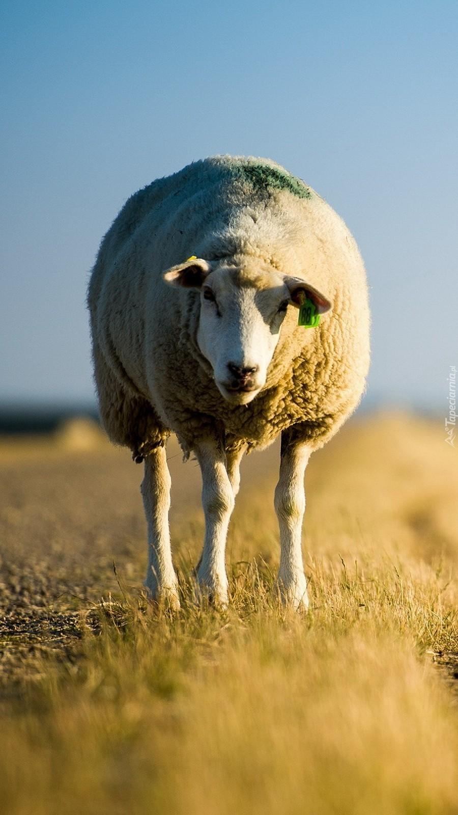 Zagubiona owieczka