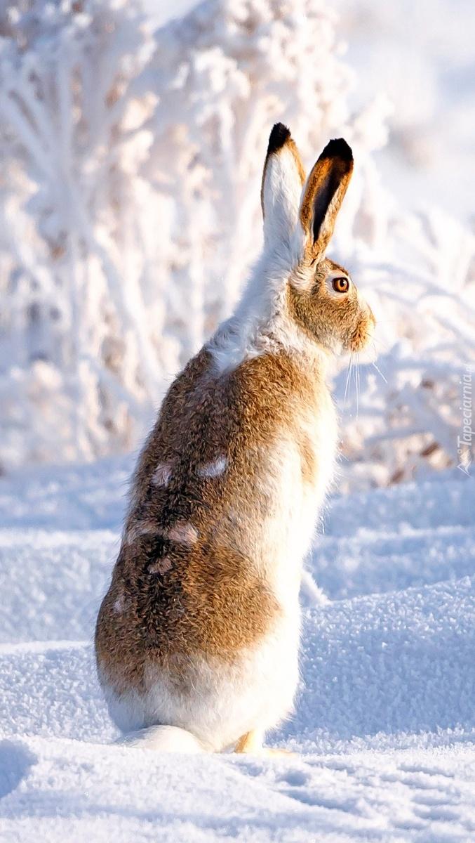 Zając białoogonowy wtopiony w biel śniegu
