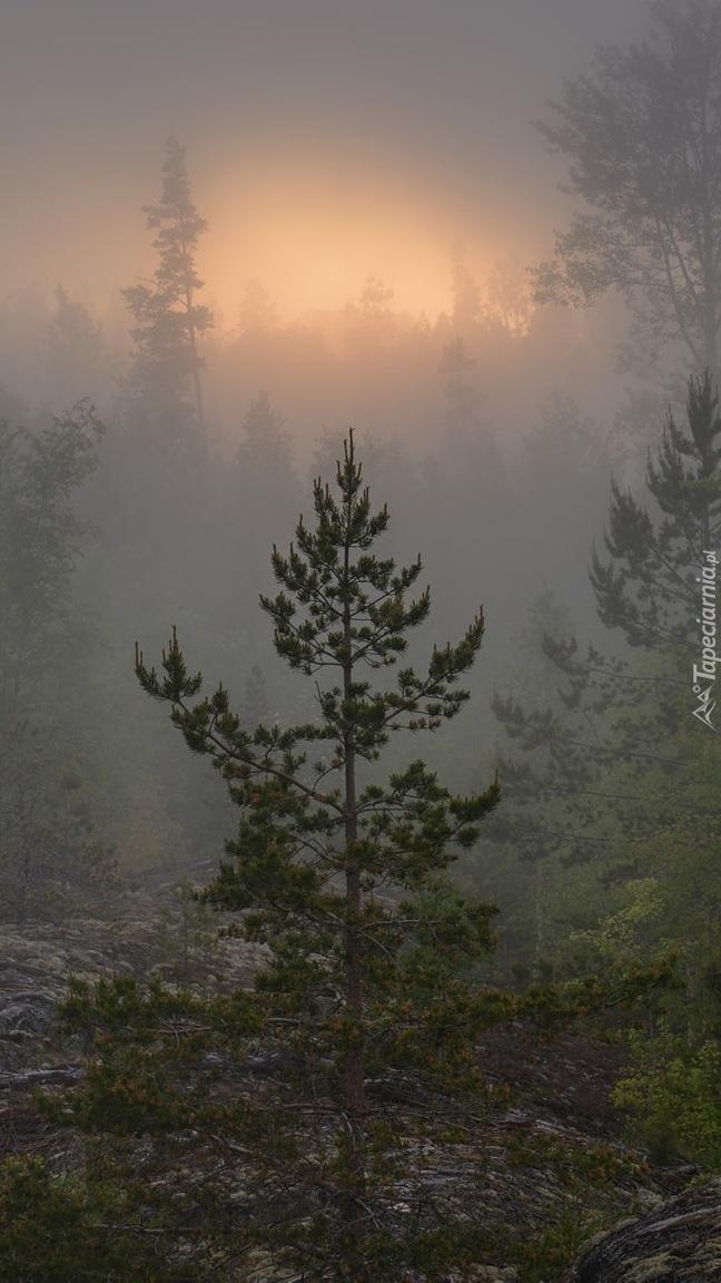 Zamglony las