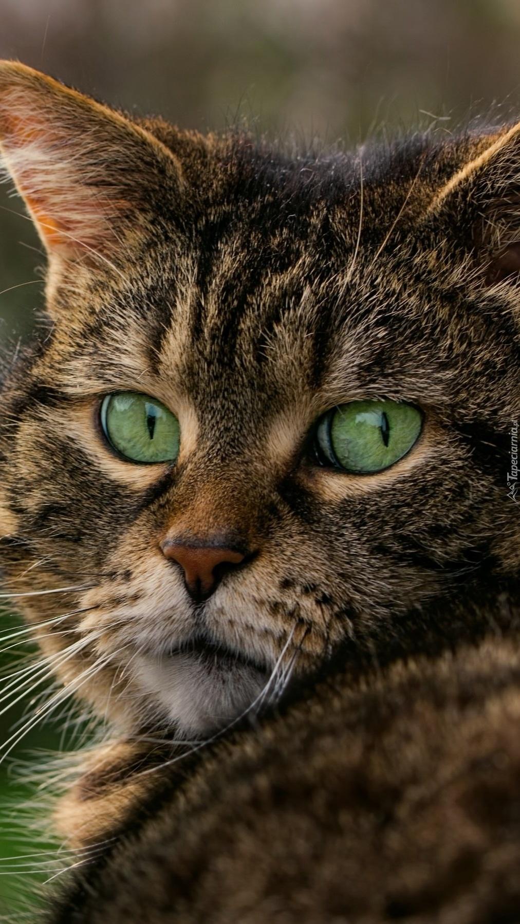 Zaskoczone zielone oczy kota