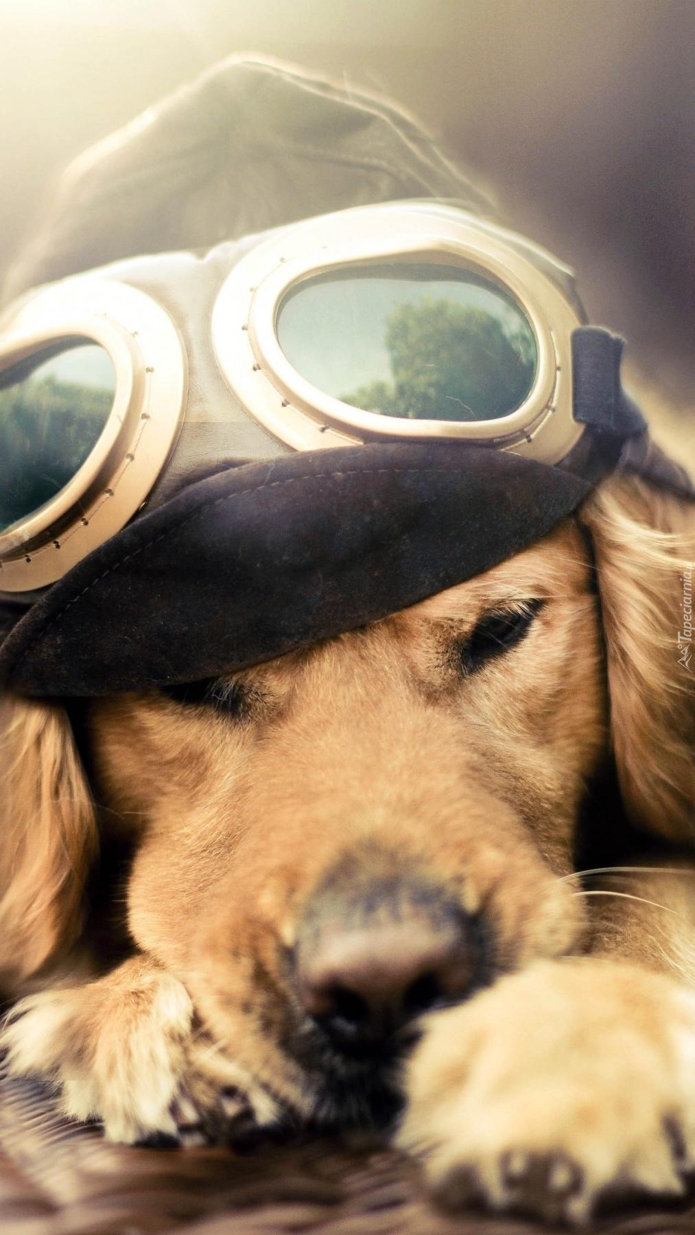 Zasypiający pies w czapce z goglami