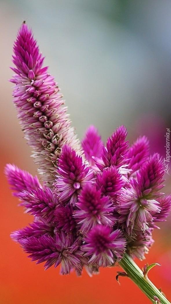 Zbożowy kwiat