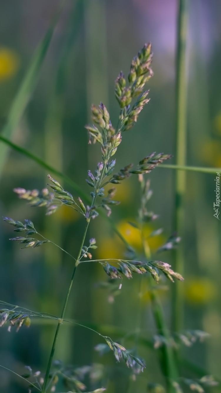 Źdźbło trawy