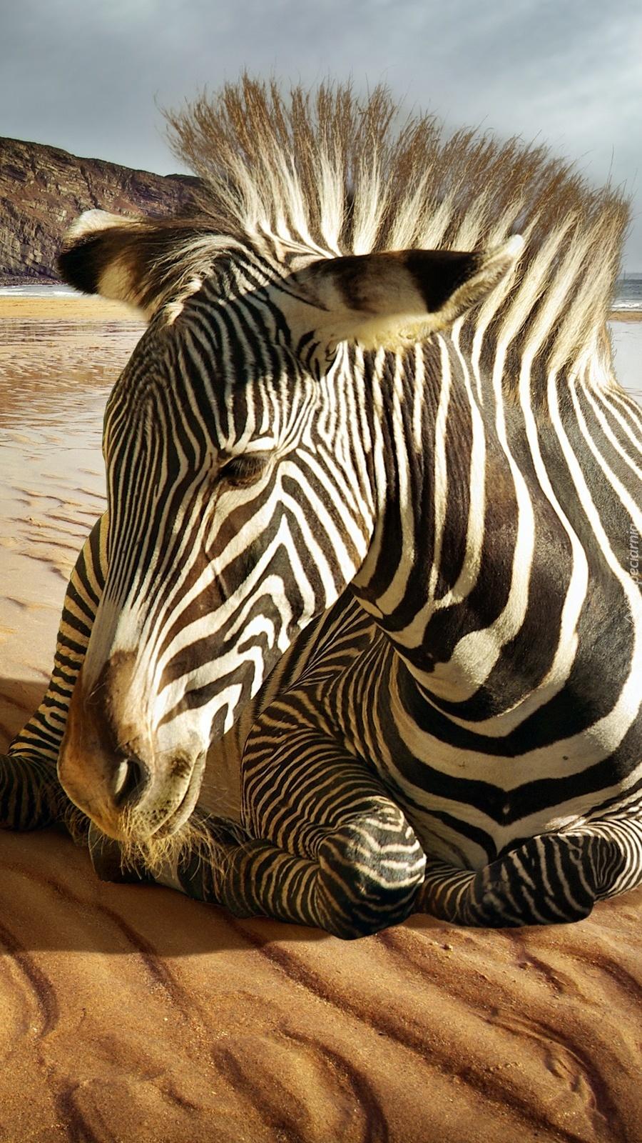 Zebra z irokezem