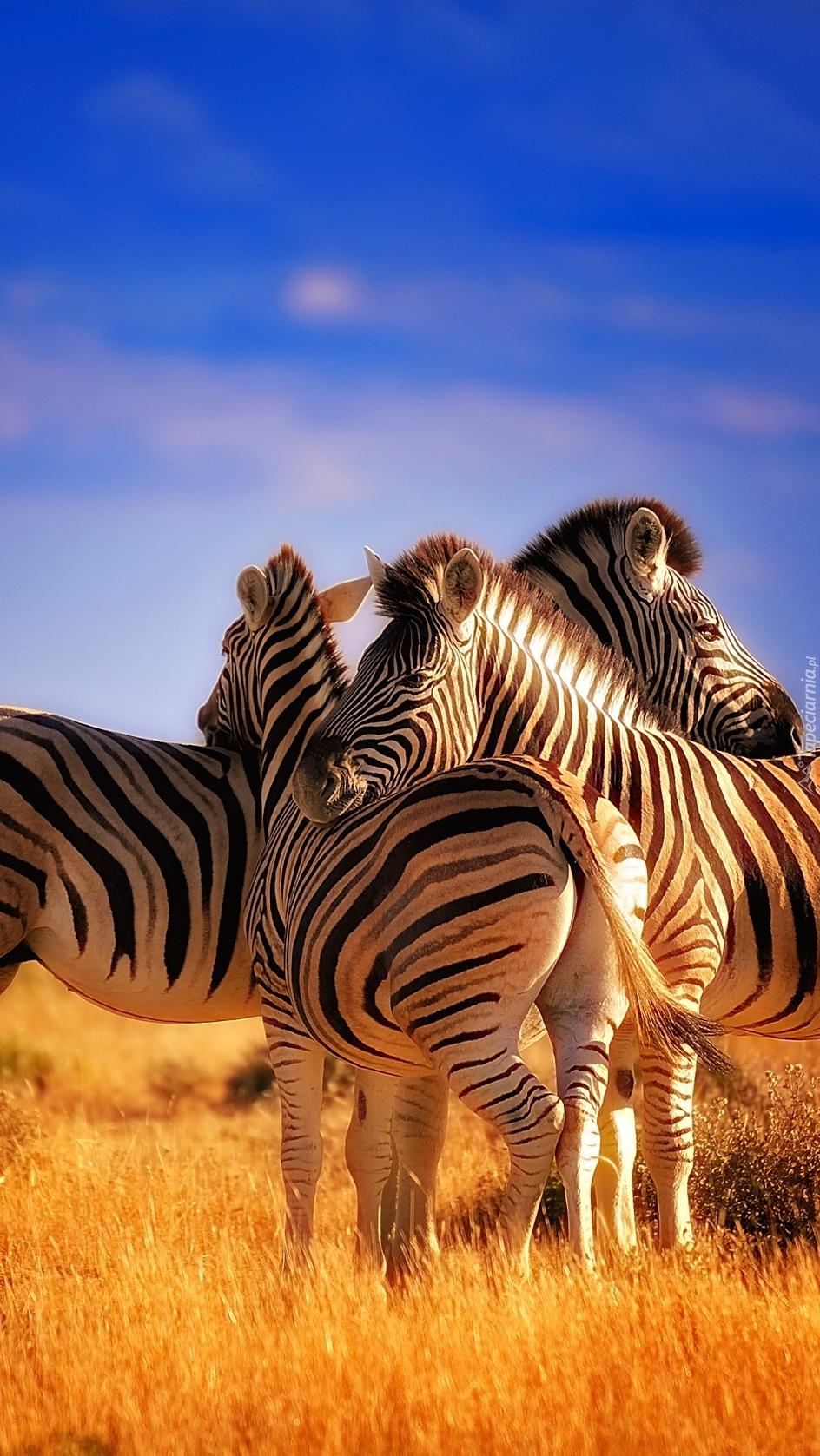 Zebry na sawannie
