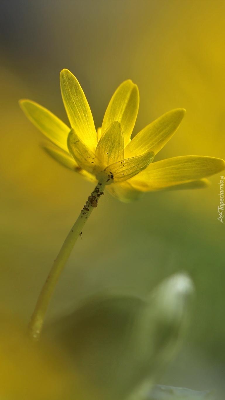 Ziarnopłon wiosenny majowy