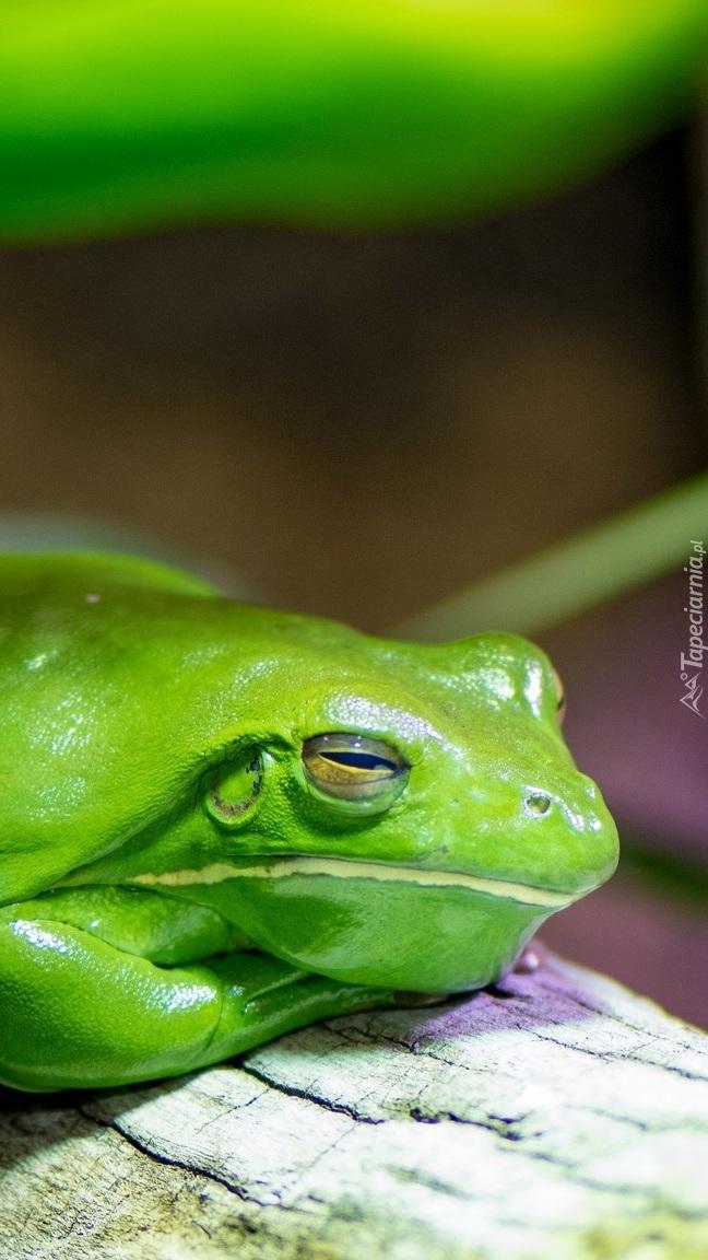 Zielona żaba na konarze