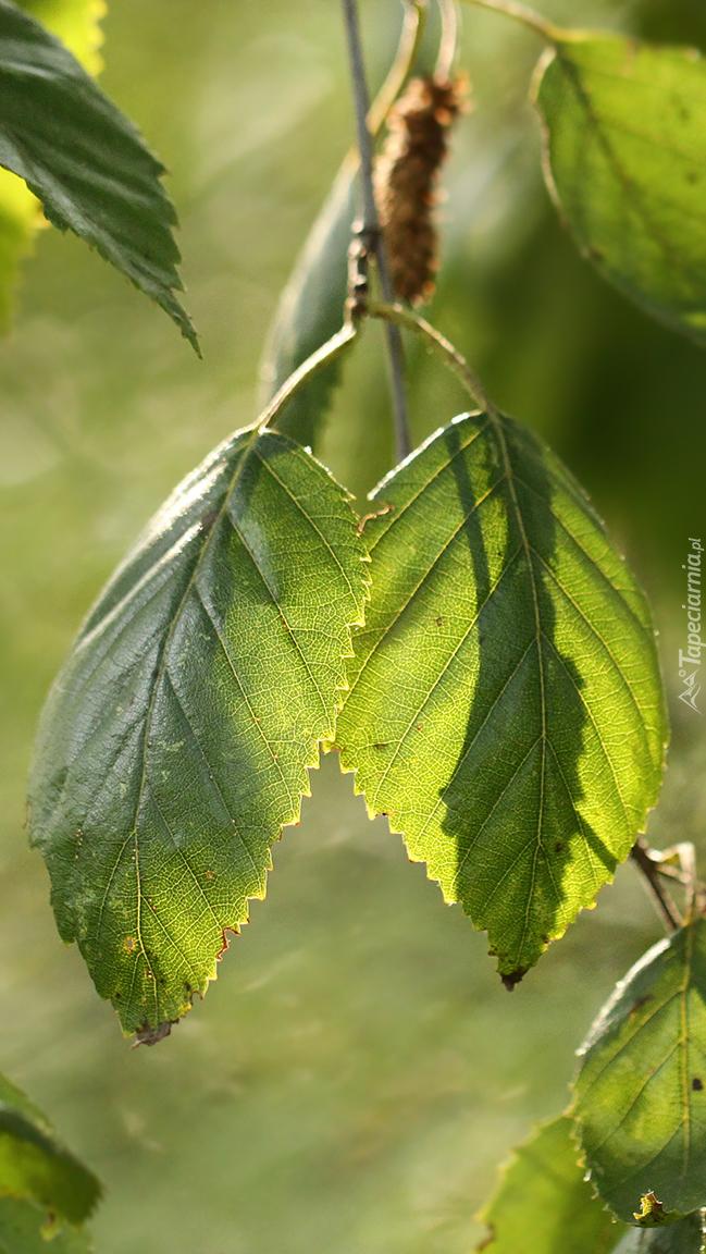 Zielone liście brzozy pożytecznej