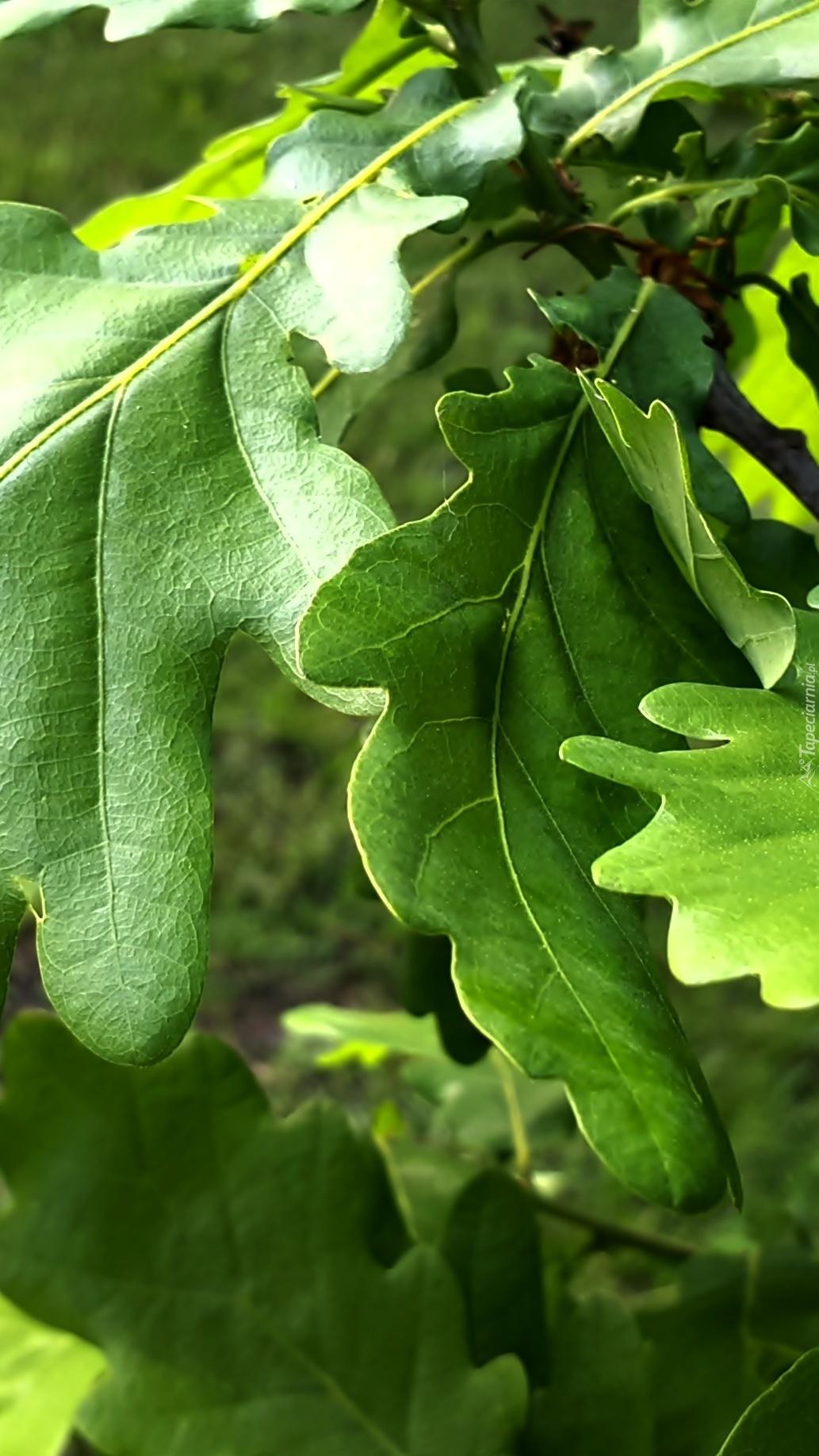 Zielone liście dębu