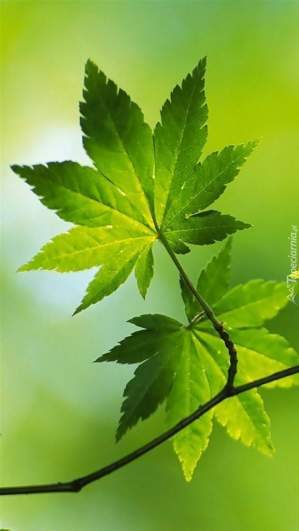 Zielone liście klonu na gałązce