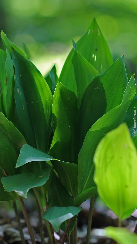 Zielone liście konwalii