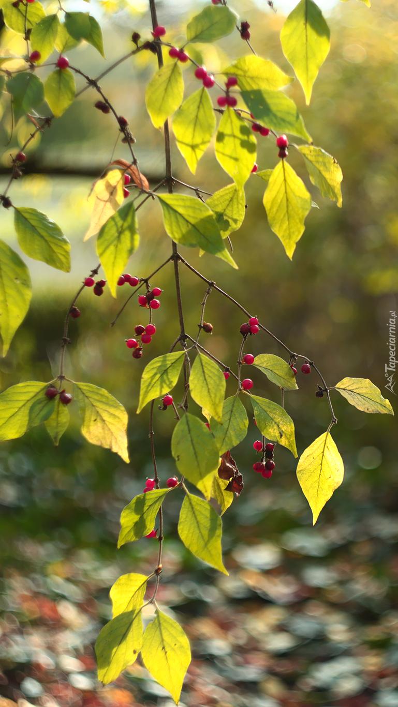 Zielone listki i czerwone owoce na gałązkach