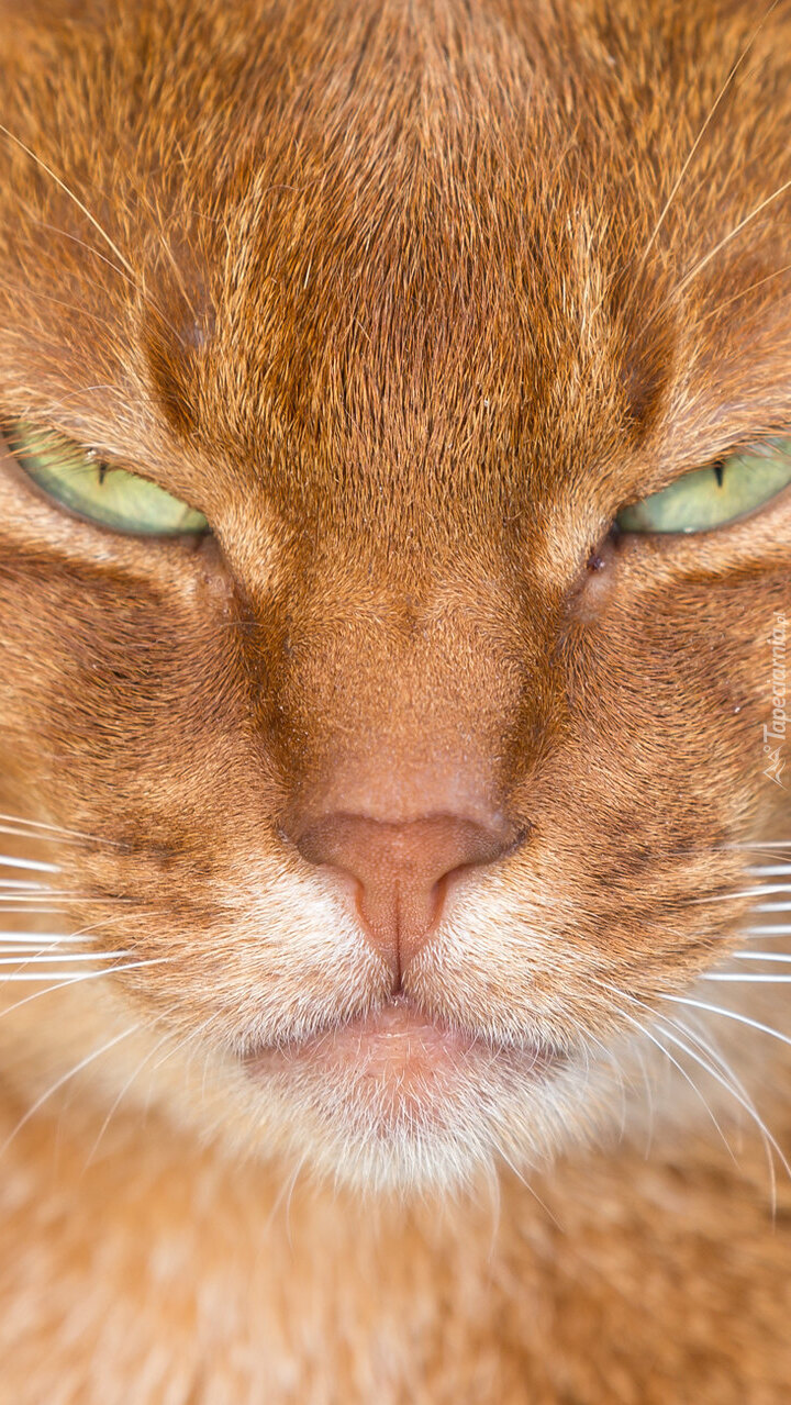 Zielone oczy rudego kota