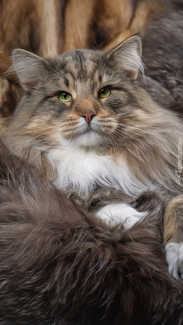 Zielonooki kot norweski leśny