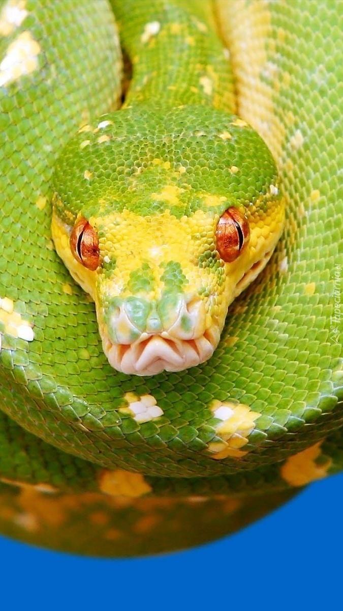 Zielony cętkowany pyton