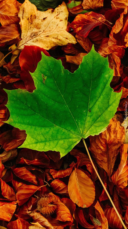 Zielony liść klonu