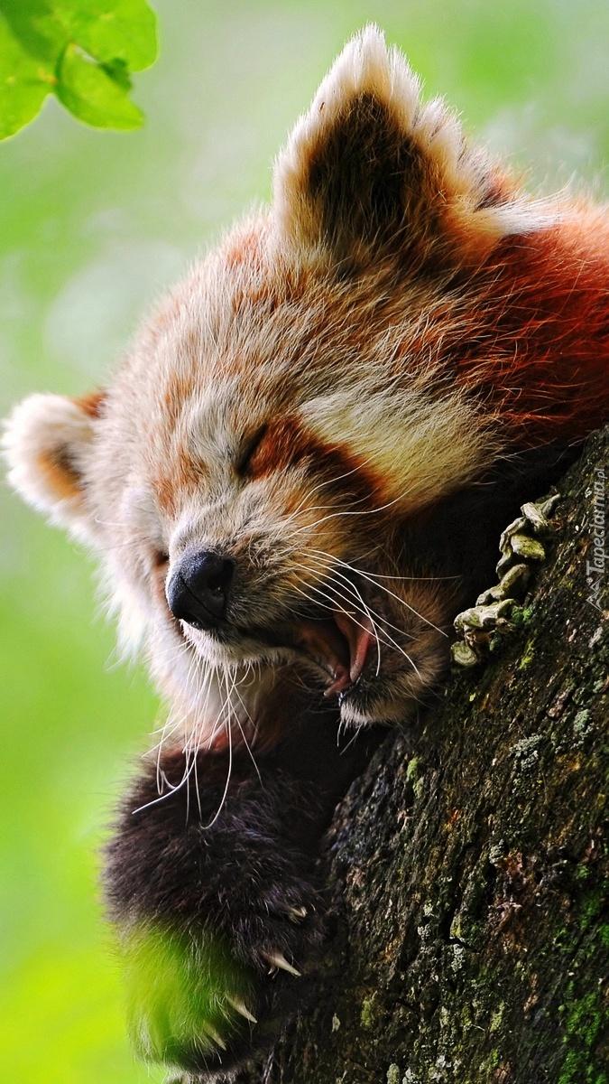 Ziewająca panda czerwona
