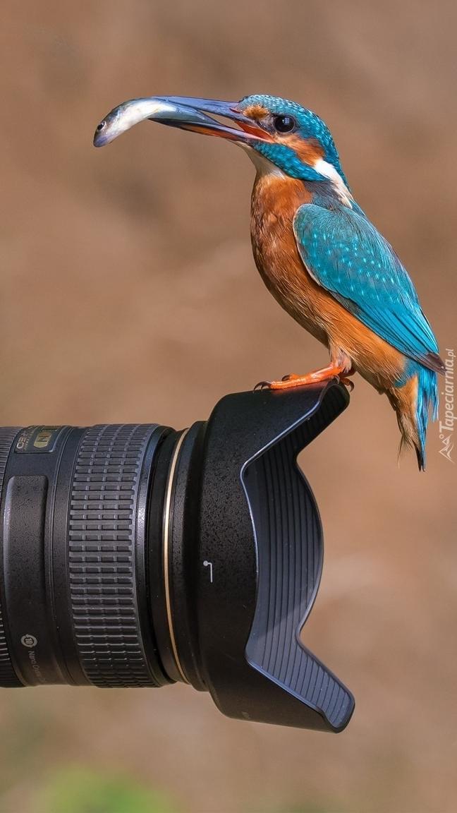 Zimorodek na obiektywie aparatu