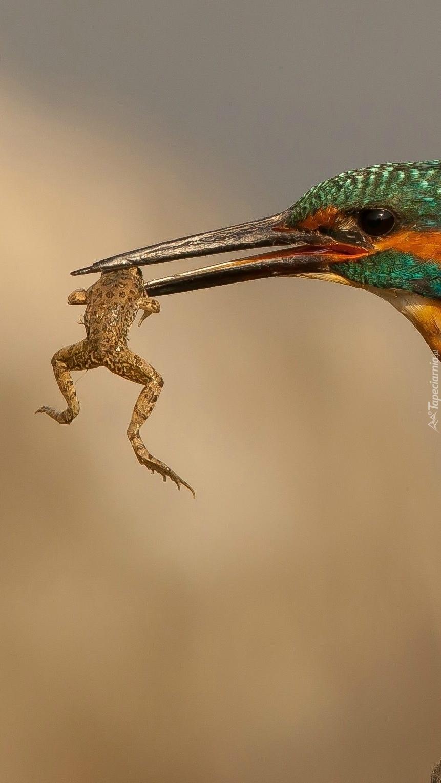 Zimorodek z żabką w dziobie