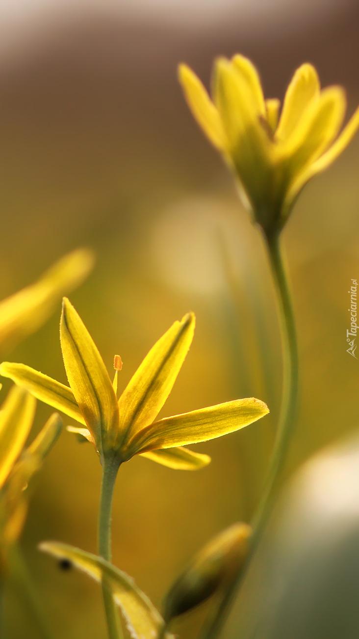 Złoć żółta wiosenna