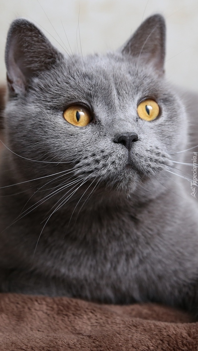 Złotooki Kot Brytyjski Tapeta Na Telefon