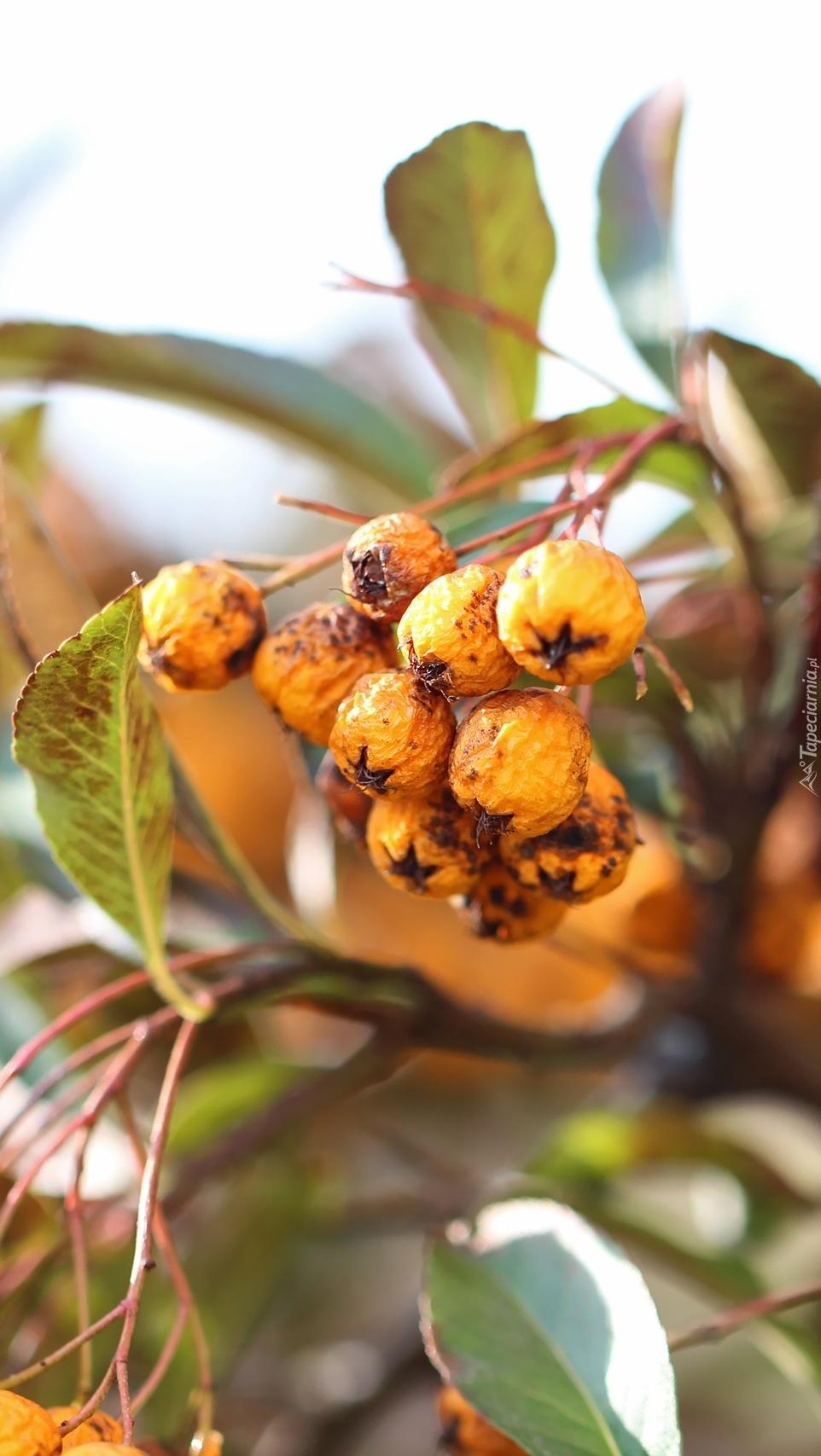 Zmarszczone owoce ognika szkarłatnego
