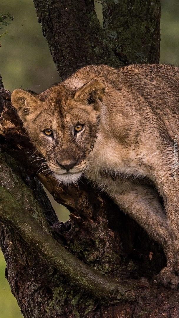 Zmęczona lwica