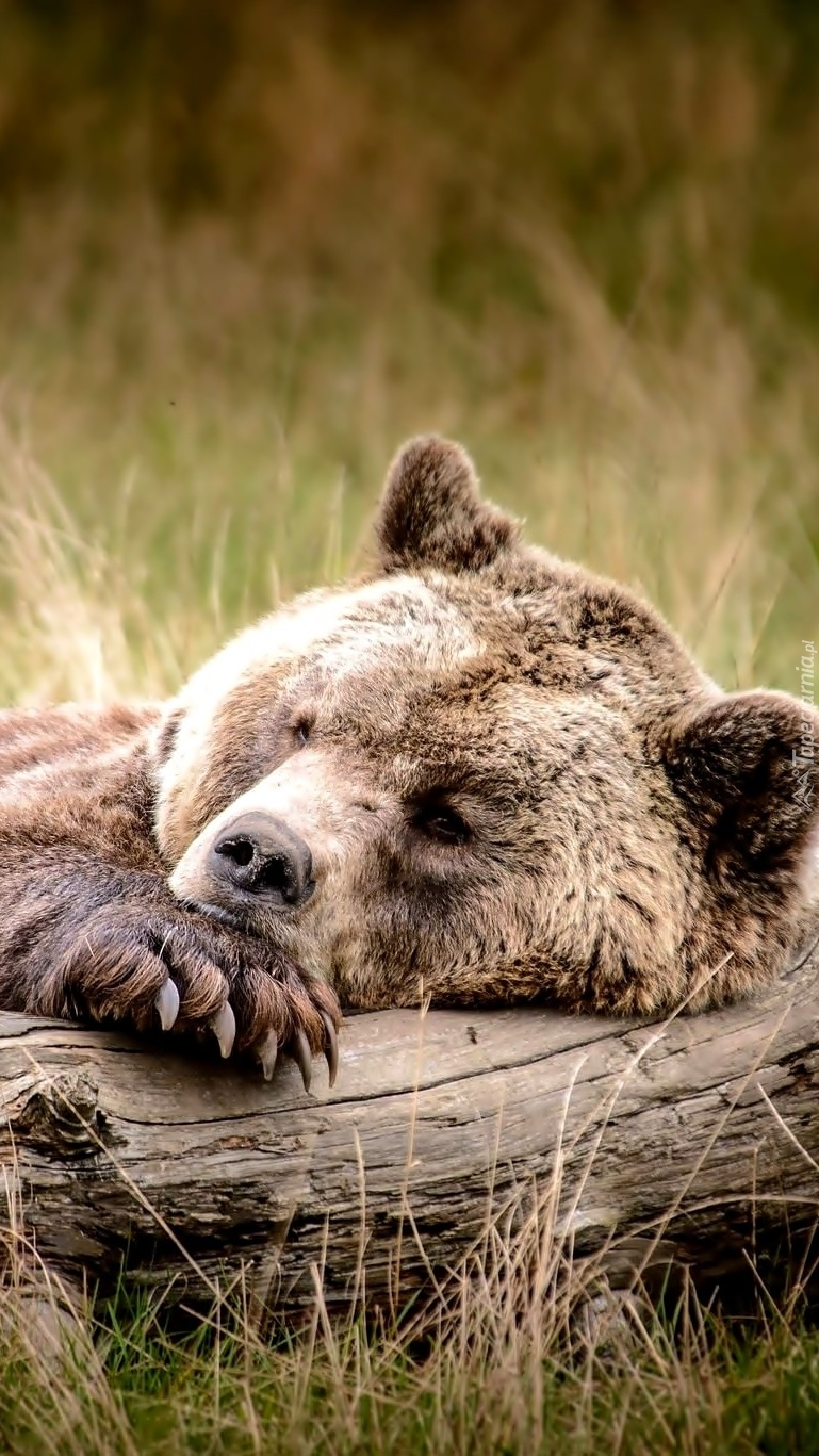 Zmęczony niedźwiedź