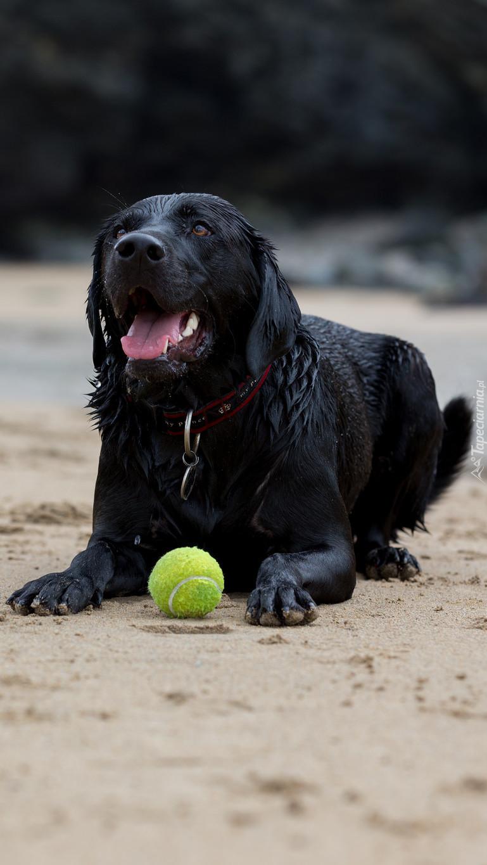Zmęczony pies z piłką na plaży