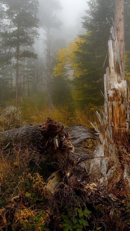 Zmurszałe drzewo w zamglonym lesie