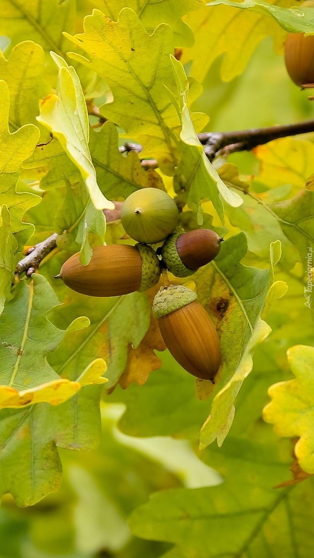 Żołędzie wśród jesiennych liści.