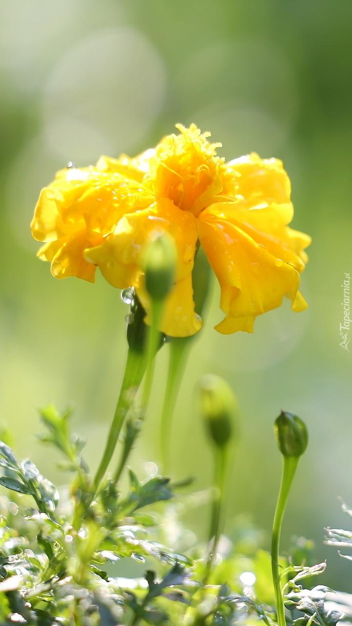 Żółta aksamitka