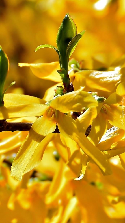 Żółta forsycja