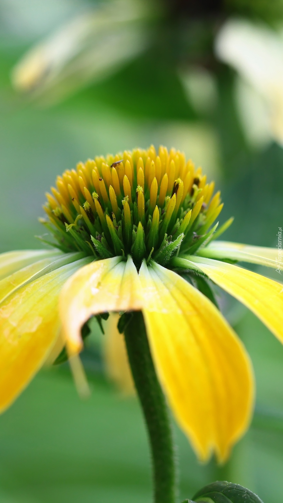 Żółta jeżówka