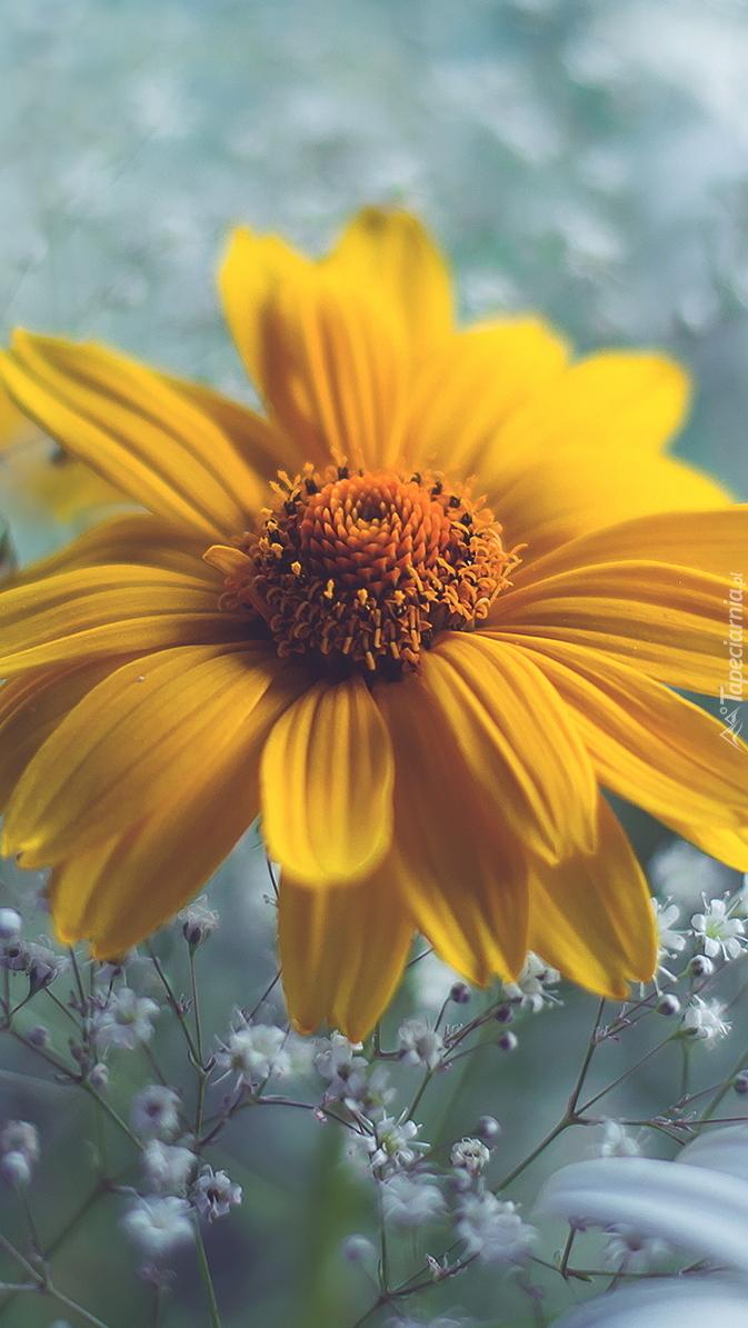 Żółta rudbekia
