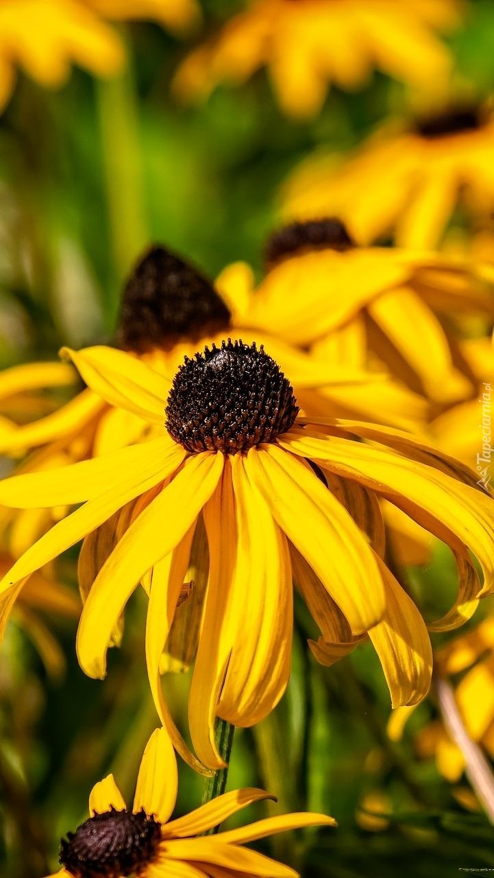 Żółta rudbekia błyskotliwa