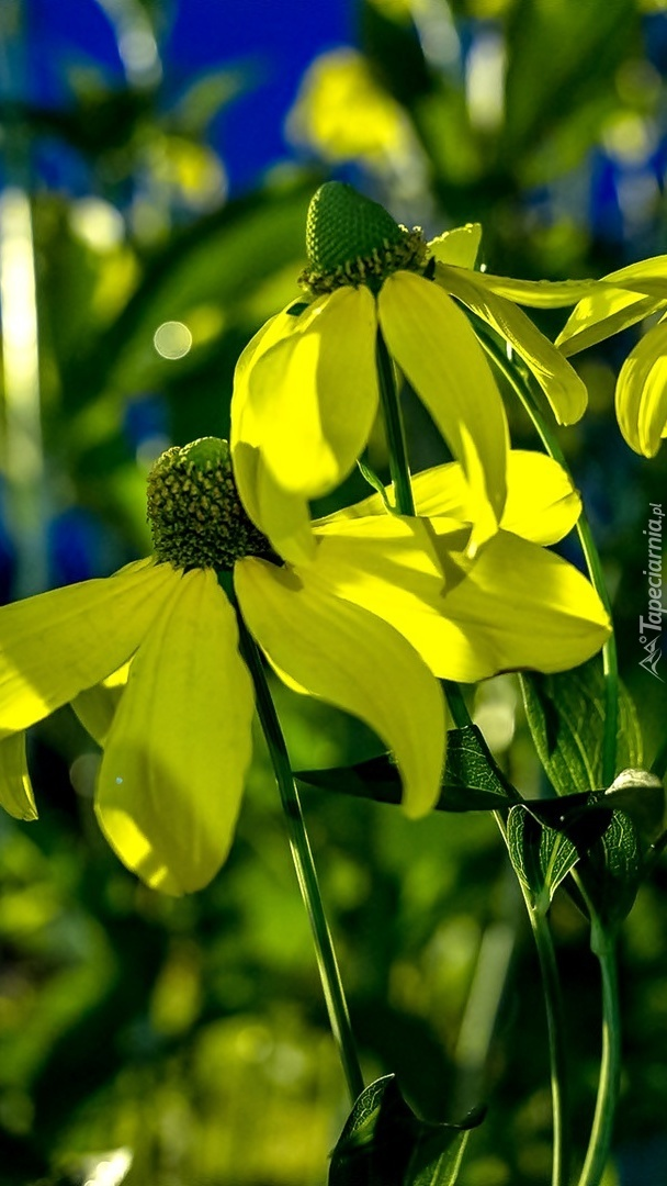 Żółta rudbekia lśniąca