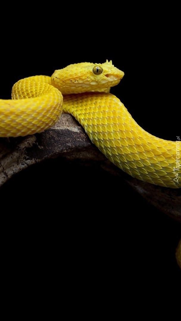 Żółta żararaka rogata