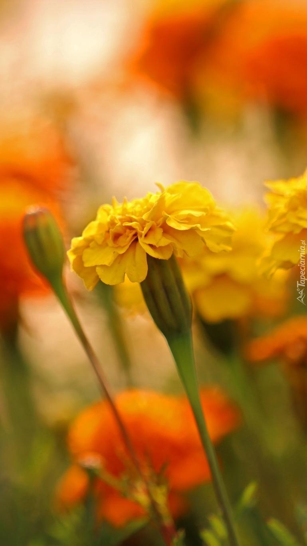Żółte aksamitki