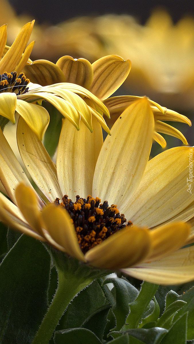 Żółte arktotisy