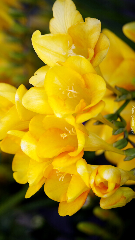 Żółte frezje