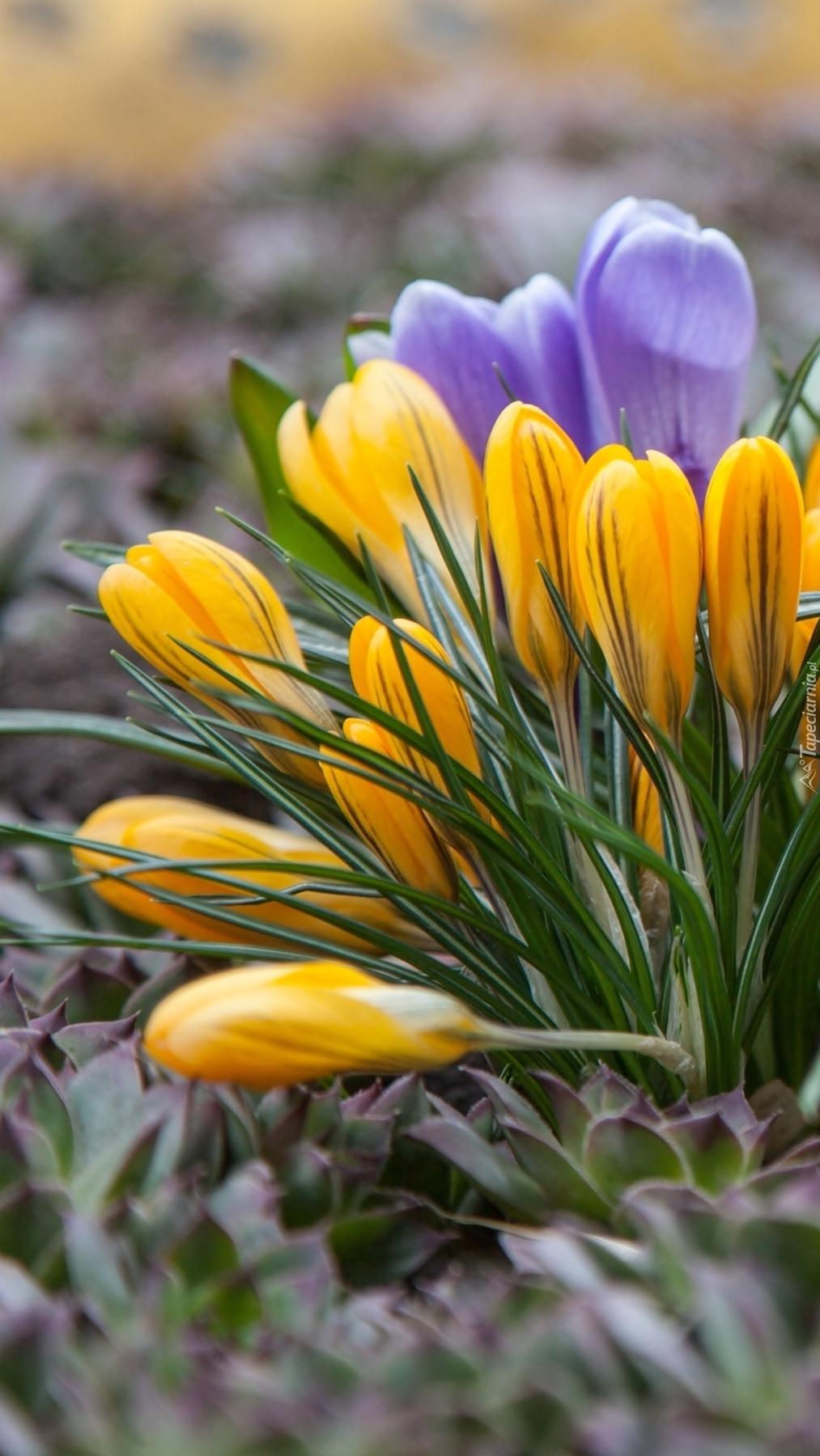 Żółte i fioletowe krokusy w trawie