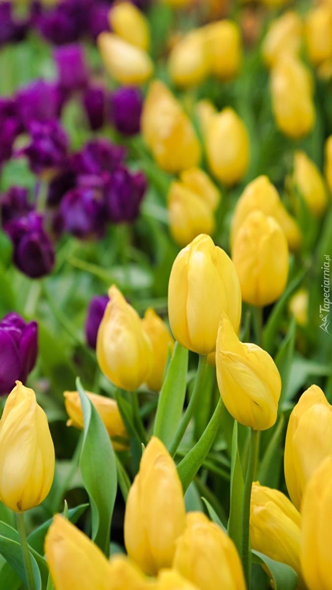 Żółte i fioletowe tulipany